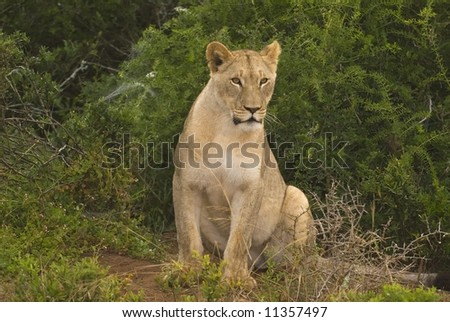A youthful Lion watches the photographer - stock photo
