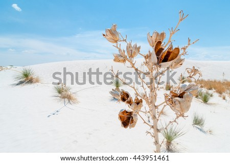 A yucca plant grows rapidly to stay above the ever growing and changing sand dunes at White Sands New Mexico beneath white clouds and blue skies.   - stock photo