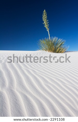 A Yucca plant on a sand dune - White Sands National Monument, New Mexico, USA. - stock photo