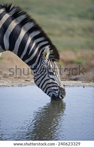 A Zebra Drinking in Portrait mode - stock photo