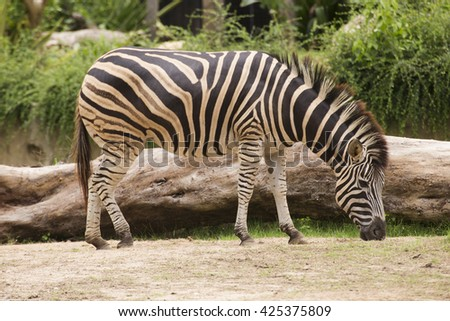 A Zebra eating grass in open Zoo