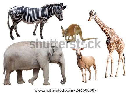 A Zebra, Elephant, Sheep, Kangaroo and Giraffe Isolated  - stock photo