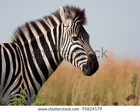 A zebra head and shoulders  from the side  with soft background - stock photo
