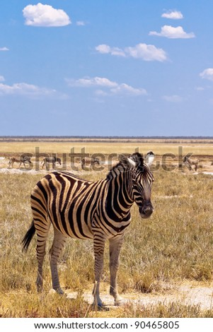 A zebra in Etosha national park, Namibia - stock photo