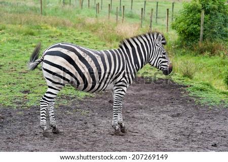 A zebra in the zoo in Denmark - stock photo