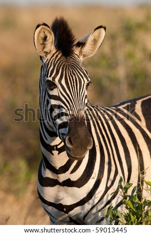 A zebra portrait in golden light - stock photo