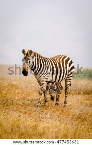 A zebra's head is framed between the legs of another zebra on a hazy morning in California.