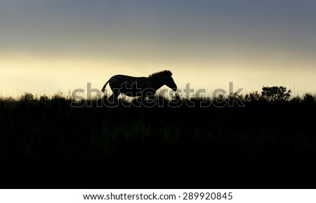A zebra silhouette at sunset. South Africa - stock photo