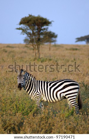 A zebra standing side on in grass in front of an acacia tree