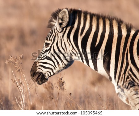 A Zebra taken in the late afternoon with its mouth full of grass