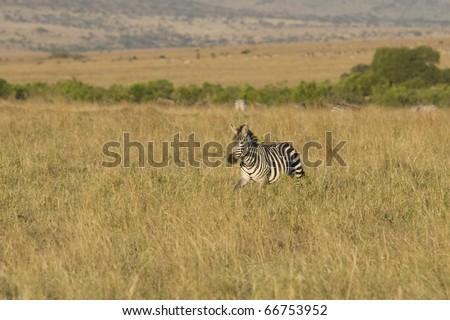 A zebra walks the plains of the Masai Mara during the Great Migration. - stock photo
