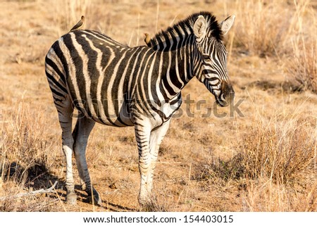 A zebra with two little birds on its back roaming freely in the dry savannah lands of Pilanesberg National Park, South Africa - stock photo