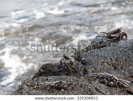 Aama Crab on the Lava Shoreline of Hawaii     - stock photo