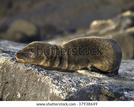 Abandoned baby sea lion on the rocks in the Galapagos Islands - stock photo