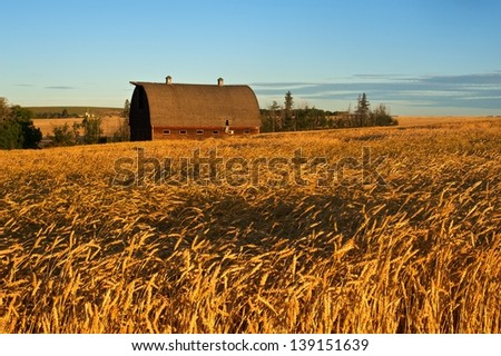Abandoned barn in ripe wheat field at sunrise - stock photo