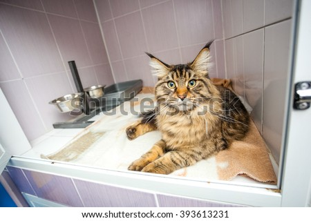 Abandoned cat Maine Coon laying  in the glassify cage at the shelter - stock photo