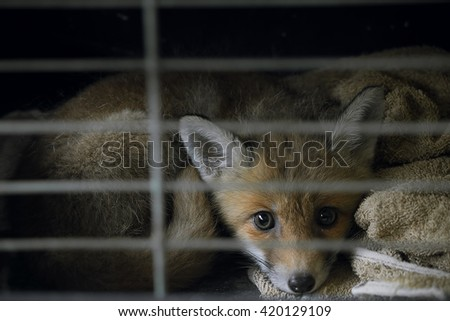 Abandoned Fox Cub / Cage / Fox in trouble - stock photo
