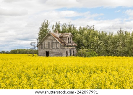 abandoned home in a canola field - stock photo