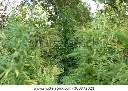 Abandoned land with natural grown marijuana. Marijuana Plantation. Hemp plants  - Stock Image - stock photo