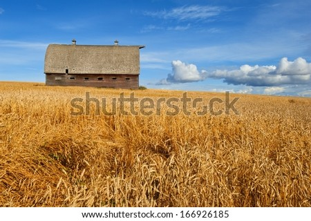 Abandoned old barn in field of ripe wheat : side view - stock photo