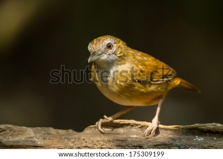 Abbott's Babbler(Malacocincla abbotti) come out from the dark in nature