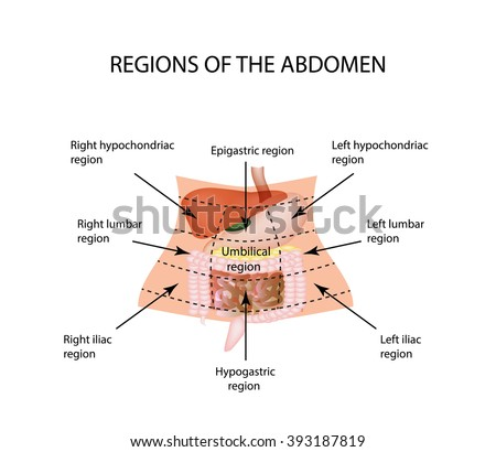 Abdominal Region. The liver, gallbladder, pancreas, stomach, duodenum, intestine, small intestine, large intestine, colon, rectum, apendiks, cecum. illustration on isolated background.  - stock photo