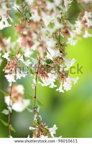 Abelia flower - stock photo