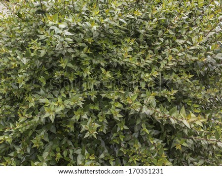 Abelia grandiflora a big shrub with permanent flowering along the year giving a red color. Texture. Nobody. - stock photo