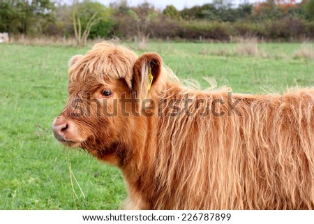Aberdeen Angus Calf - stock photo