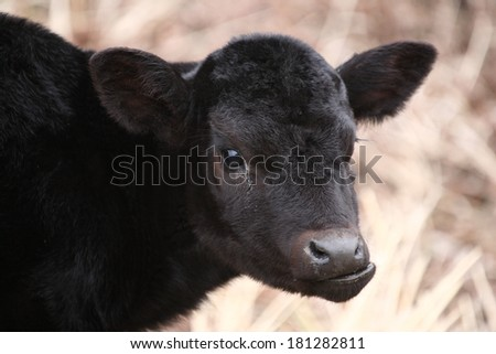 Aberdeen Angus calf in spring - stock photo