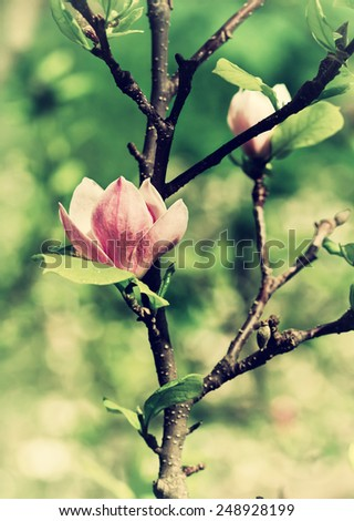 Abloom flower of magnolia tree in summertime - stock photo