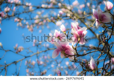 Abloom magnolia flowers in sunny spring day with blue sky   Large flowered tree in Magnoliaceae family blooming in springtime garden with pink petals against clear blue background  - stock photo