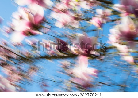 Abloom magnolia flowers in sunny spring-time day with blue sky   Large flowered tree in Magnoliaceae family blooming in garden with pink petals. Image is motion blurred for abstract background - stock photo