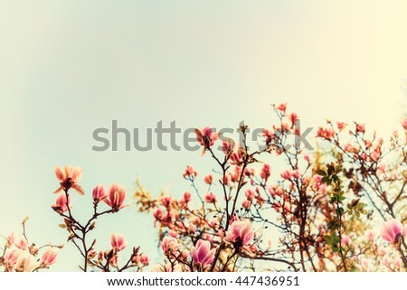 Abloom magnolia flowers on sunny spring day with clear sky Large flowered tree in Magnoliaceae family blooming in springtime garden with pink petals against background, image vintage filter effect - stock photo