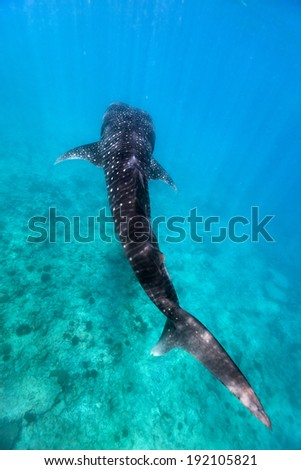 Above view of a whale shark swimming at a reef in Indian ocean at Maldives - stock photo
