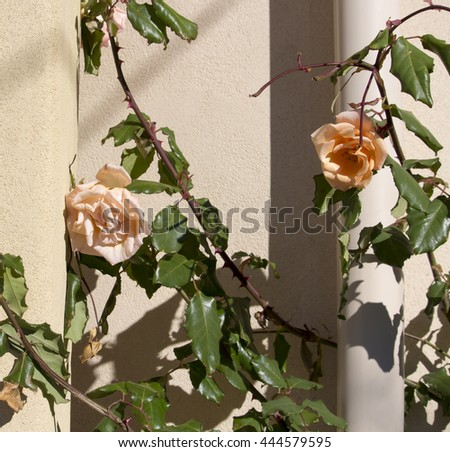 Absolutely  magnificent romantic beautiful pale salmon blush  fully blown roses blooming  against a  cream concrete painted wall in early winter adds fragrant charm to the front garden . - stock photo