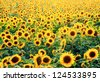 Abstract agriculture stock image - Sunflower field - stock photo