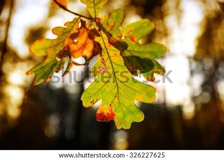 Abstract autumn oak tree twig - stock photo