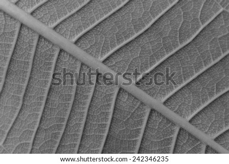 Abstract background of leaf texture blur in monotone, can be used as background - stock photo