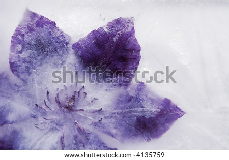 abstract background : purple clematis flower frozen into a block of ice - stock photo