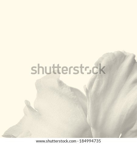 Abstract background with petals of a white daffodil. Added sepia toning - stock photo