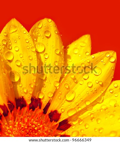 Abstract beautiful flower, colorful floral background , wet yellow petals border, daisy plant over red , nature at spring, macro details - stock photo