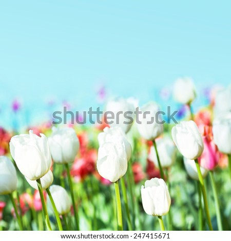 Abstract Beautiful spring flowers on a blur background of a blue sky. Bouquet of multicolor Tulips. Spring flower background. Floral backdrop  - stock photo