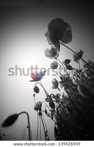 abstract black and white poppies with one single color flower- symbol of war - stock photo