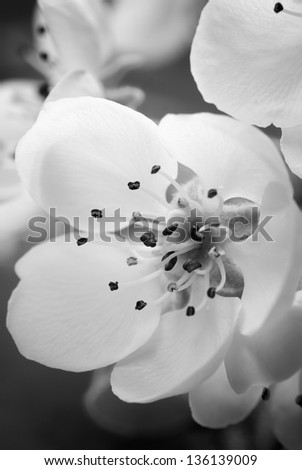 Abstract black and white Spring blossom close-up - stock photo