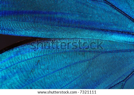 Abstract blue texture of shiny butterfly wings - morpho - stock photo