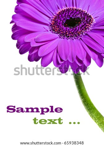 Abstract close up of a purple pink daisy gerbera - stock photo