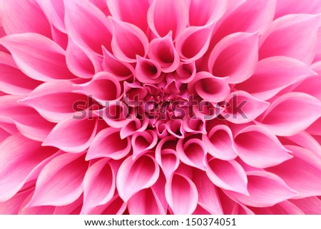 abstract closeup(macro) of pink dahlia flower with beautiful petals. This brilliant, pretty flower has a stunning pattern of petal arrangement in spiral or circular fashion & belongs to daisy family - stock photo