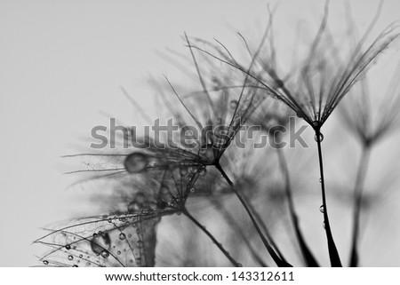 Abstract dandelion flower background, extreme closeup. Big dandelion. - stock photo