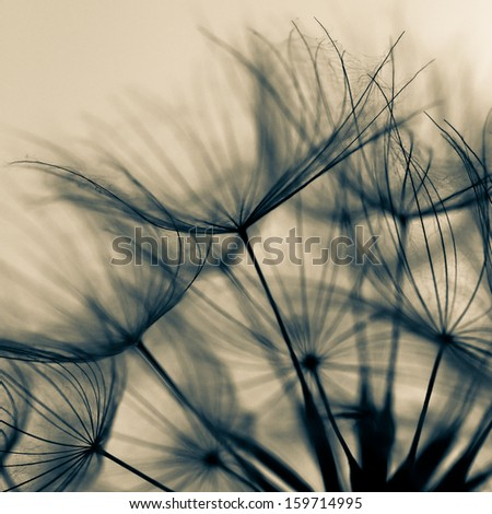 Abstract dandelion flower background, extreme closeup. Big dandelion.